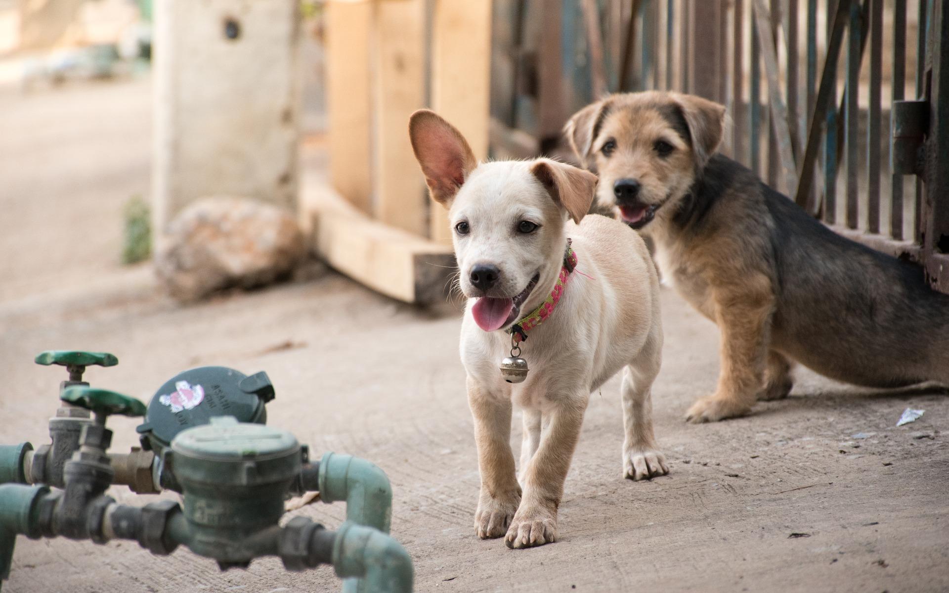 běžící štěně